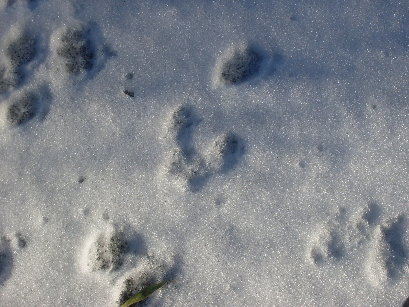 Rabbit Tracks Made rabbit tracks,